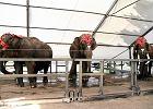 Bicie, rażenie prądem, trzymanie w klatkach. Protest przeciw wykorzystywaniu zwierząt w cyrku