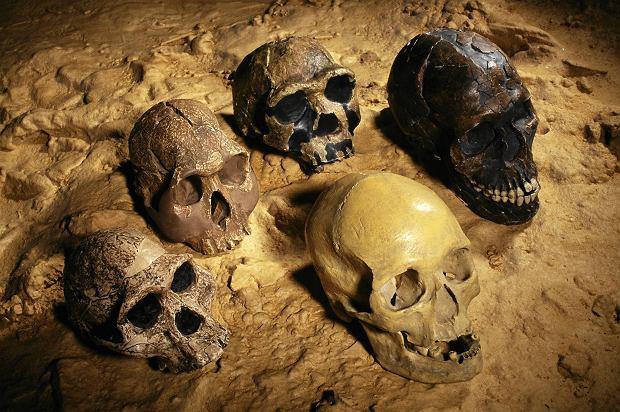 Małe czaszki od lewej: Australopithecus africanus, H. habilis, H. erectus. Obie duże czaszki - Homo sapiens