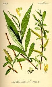 Salix Alba (Sauce Blanco)