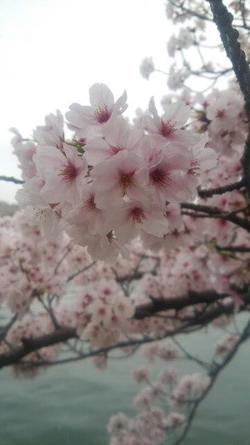 桜が満開でお花塊が丸くって可憐で可愛い。背景は河