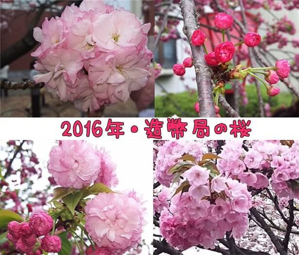 造幣局の桜アイキャッチ