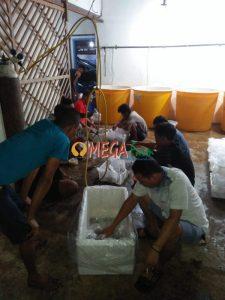 Persiapan Packing Bibit Ikan