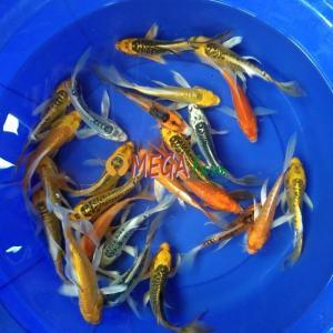 Ikan Koi Slayer Kumpay