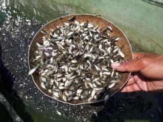 Gambar Penyebaran Bibit Ikan Nila