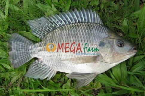 Ikan Nila Monosex