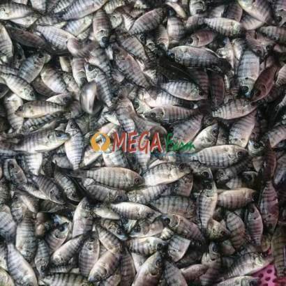 budidaya ikan nila