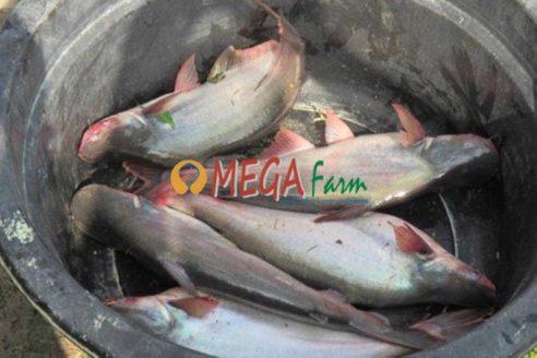 Bibit Ikan Patin Murah untuk Budidaya Hemat
