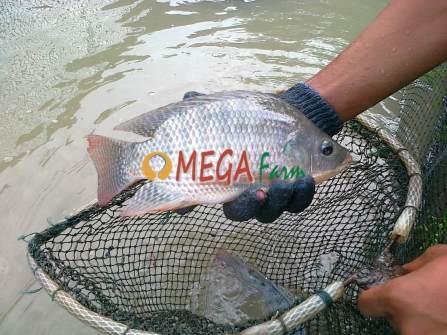 cara budidaya ikan nila monosex