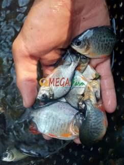 Bibit Ikan Bawal Murah Berkualitas