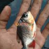 bibit ikan bawal terdekat