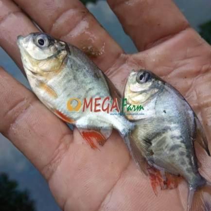bibit ikan bawal termurah