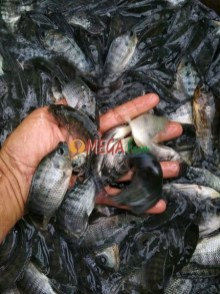 bibit ikan nila hitam