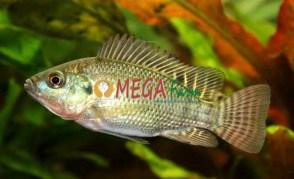 Bibit Ikan Nila Monosex