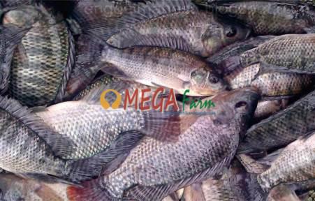 Ikan Nila Usaha di kolam terpal