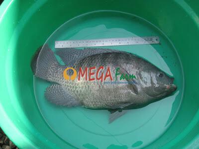 Jual Bibit Ikan Nila Kekar dengan Harga Termurah dengan Kualitas Unggul