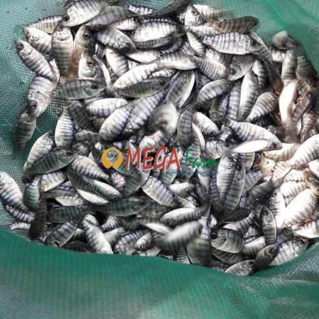 bibit ikan nila terpal
