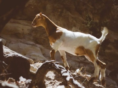 Day of Atonement - Goat