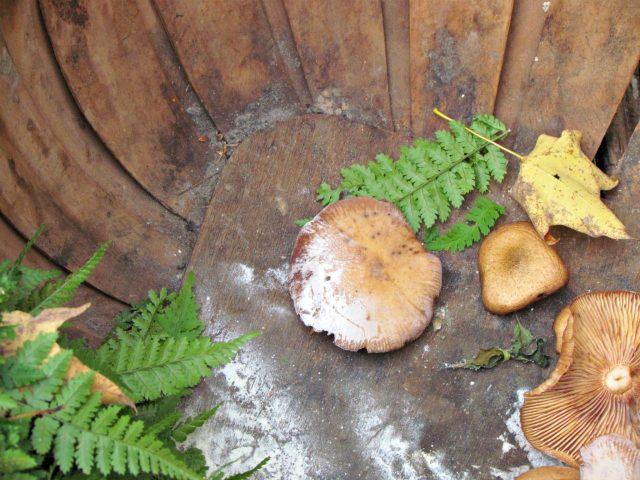 honey mushrooms2