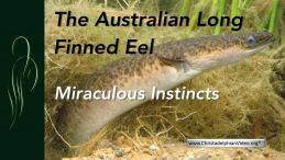 The Long finned Australian Eel - A wonder of Creation