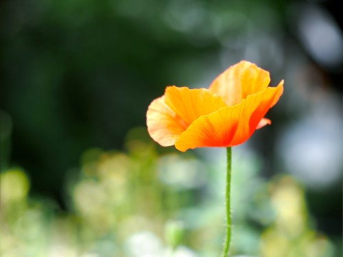 Flower orange - red poppy on green natural background