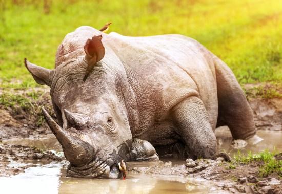 South African wild rhino bathing in the mud, big dangerous horne