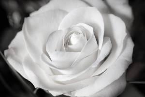 rose, white, wedding