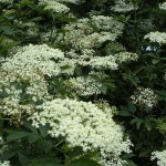 Food for free: Elderflower Champagne
