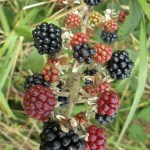 Blackberry picking: Apple and Blackberry Crumble