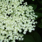 Food for Free: Elderflower Cordial