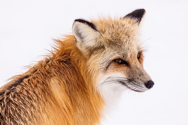 Rusé comme le renard