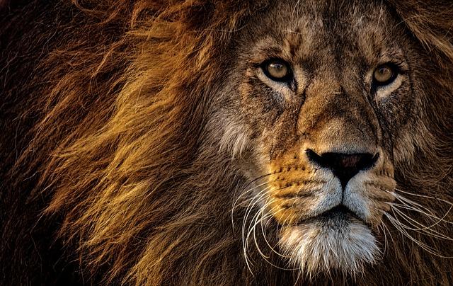 Fort comme le lion