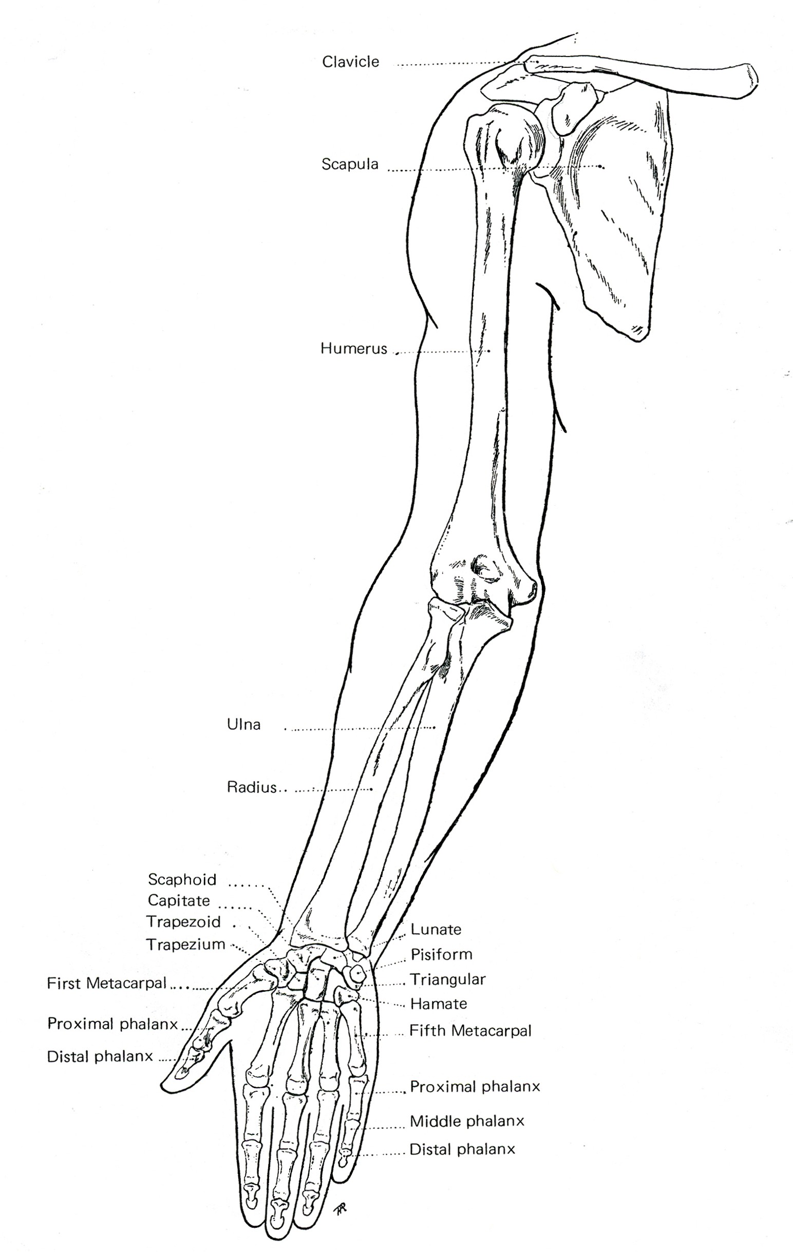 Kinesiology Shoulder And Arm