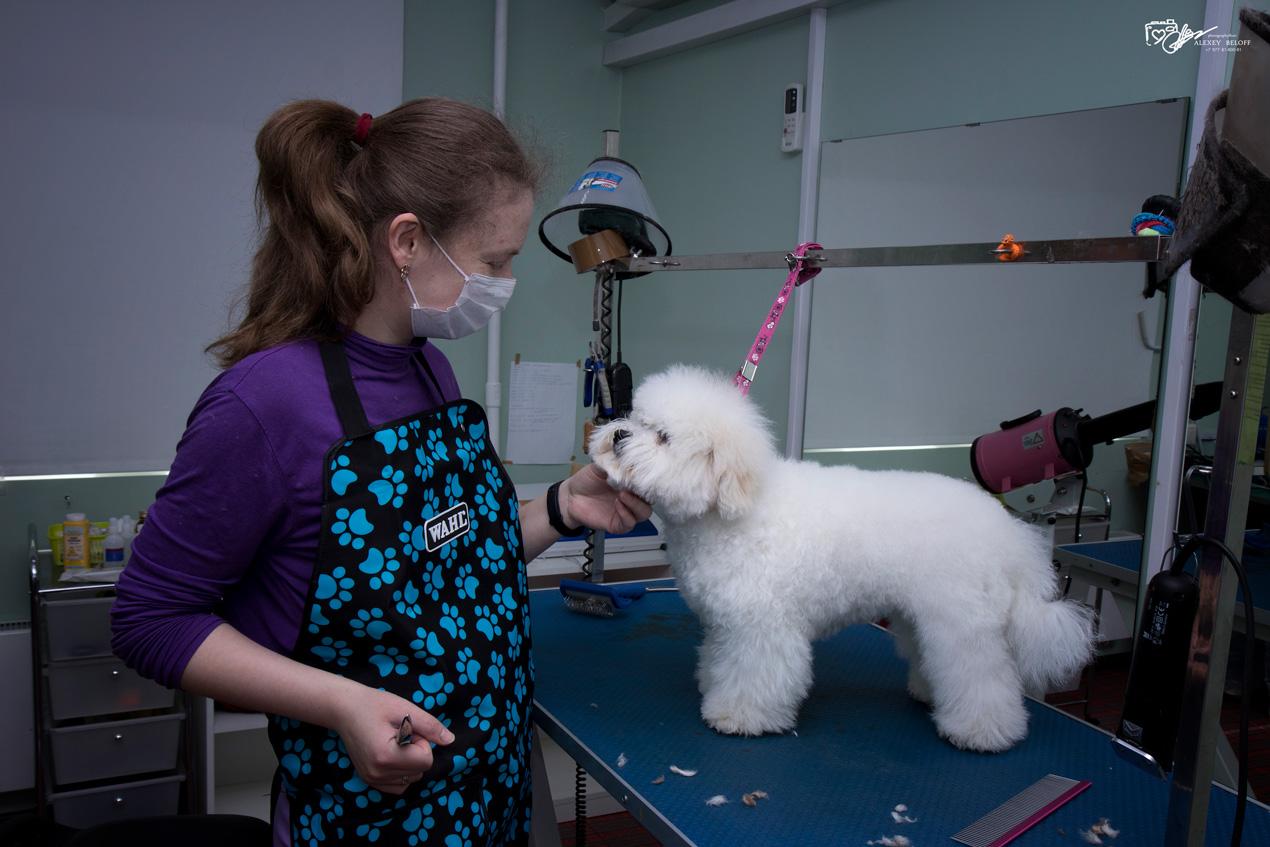 Бишон фризе: стрижки короткие и длинные, фото, уход и содержание собак, вязка и роды, а также чем и как кормить щенков и взрослых особей?