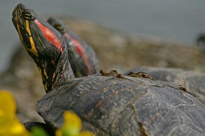 turtle-1305879_960_720