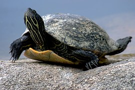 water-turtle-649667__180