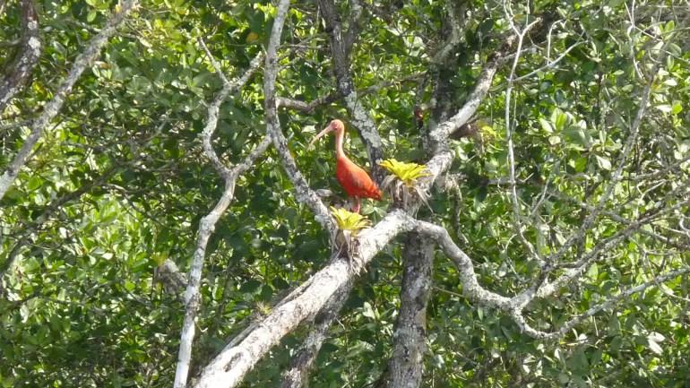 Um Guará, ave rara na região.