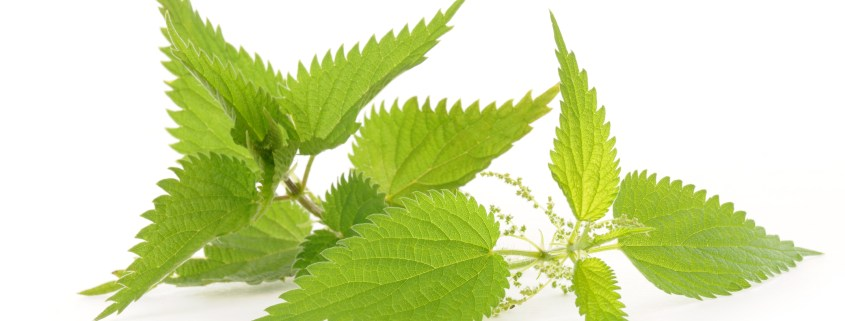 Folia Urticae - Nettle Leaves - Feuilles D'Ortie - Gjethe Hithri