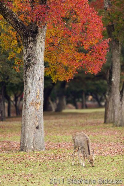 deer grazing in Nara park