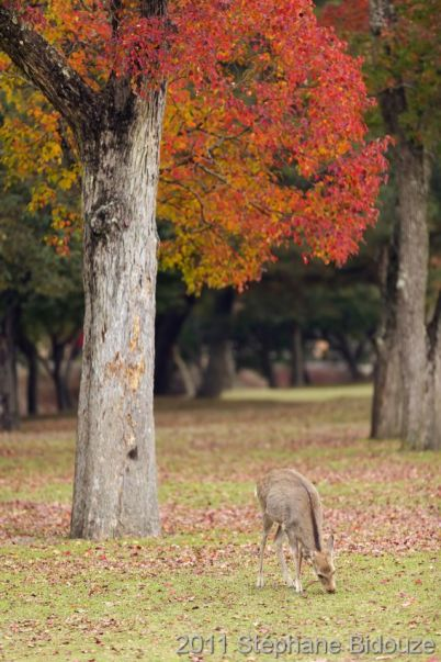 deer grazing in Nara park