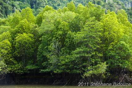 large mangrove forest