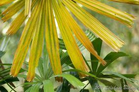 yellow palm tree
