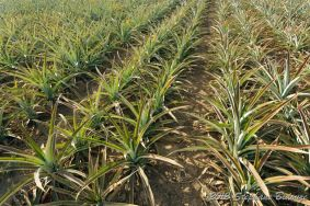 pineapple agriculture
