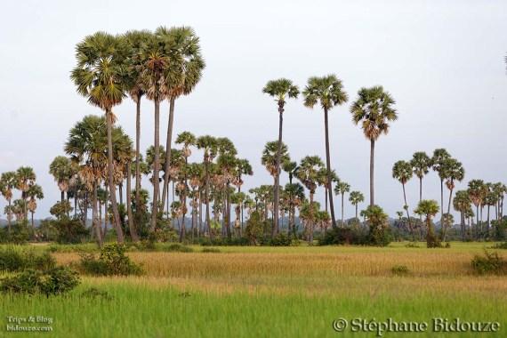 Borassus palm tree