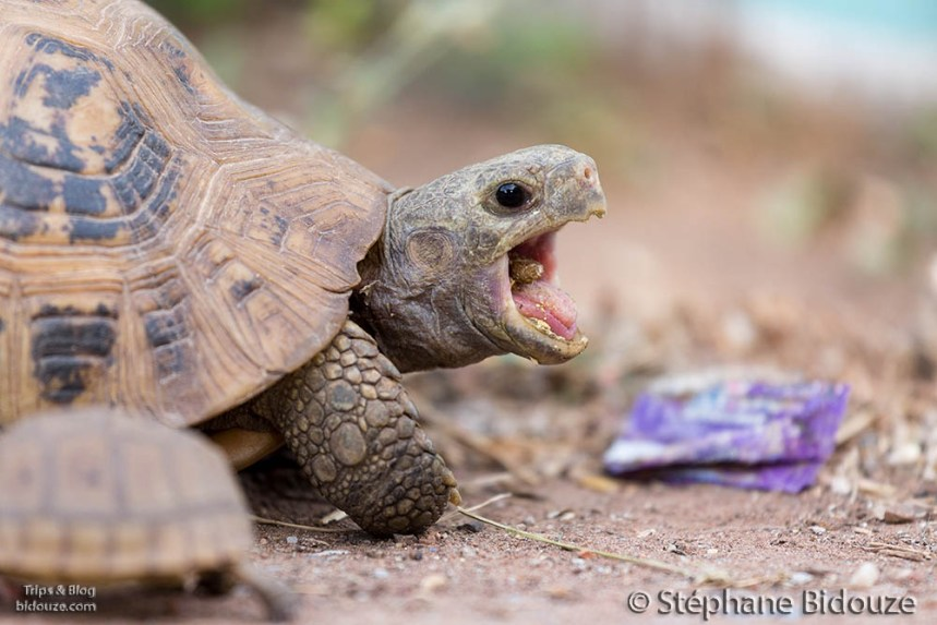 A turtle eating a vegetable