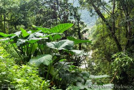 jungle-batad-forest-plant