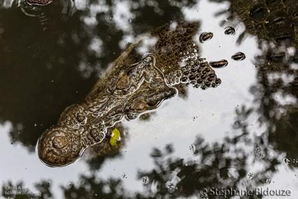 Un pauvre crocodile dépressif
