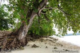 badamier-arbre-tropique-philippines