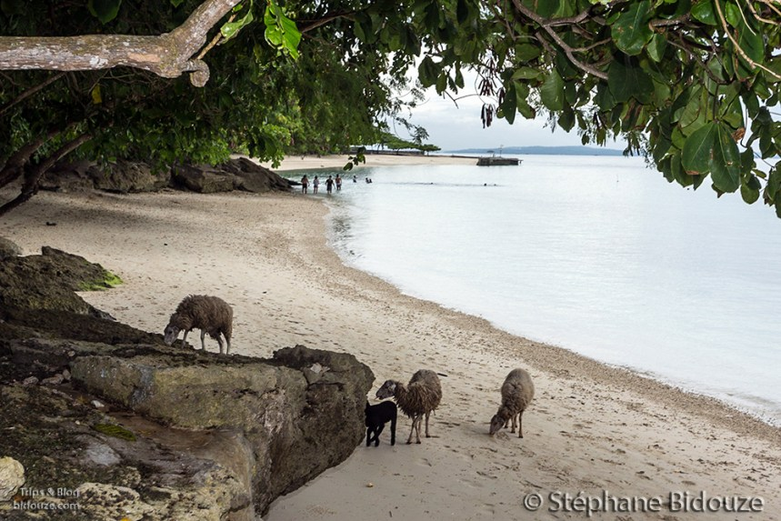 Goats and sheeps on the beach