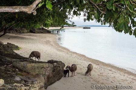 goat-chevre-mouton-plage-philippines