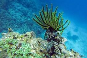 comatule-snorkeling-philippines